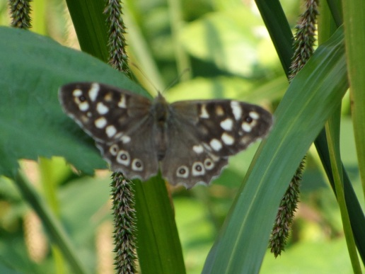 A Speckled-Wood Butterfly from different focal points.