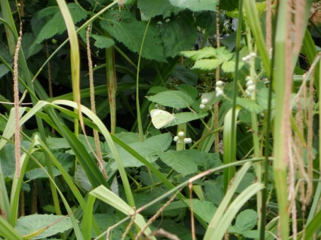 The White Cabbage Butterfly from a standard focal point.