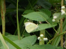 The White Cabbage Butterfly Close-Up from a focal point.