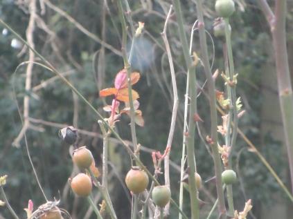 Rose buds unopened