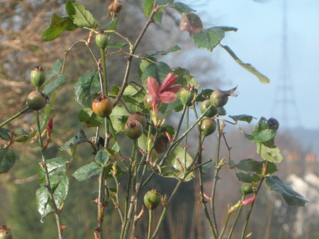 Rose buds unopened with vibrancy