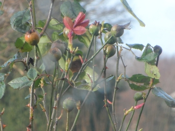 Rose buds unopened with vibrancy - 2