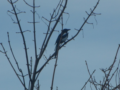 The Magpie sitting on one of the trees - taken yesterday
