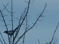The Magpie jumping onto one of the trees - taken yesterday